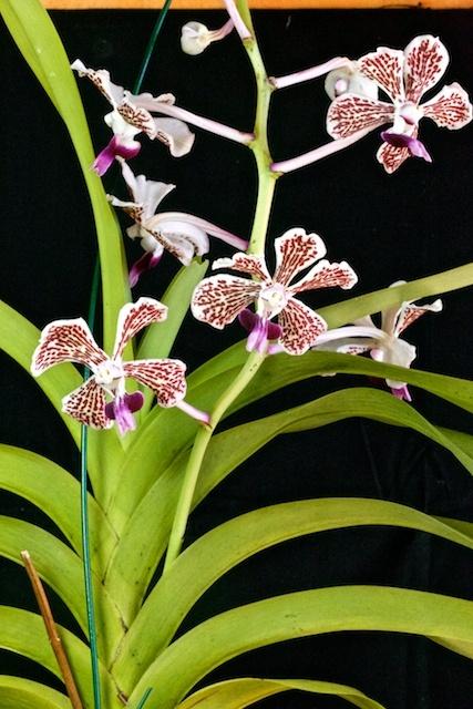 Vanda tricolor v. suavis Vanda_97
