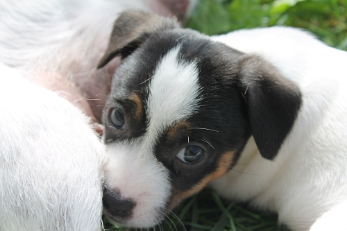 Chiots jack russell LOF _copie10