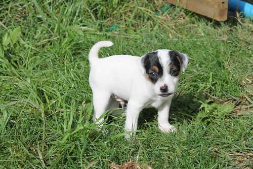 Chiots jack russell LOF _copie11
