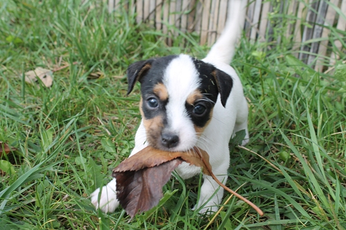 Chiots jack russell LOF _copie12