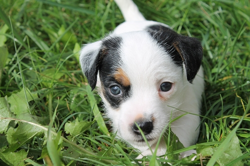 Chiots jack russell LOF _copie13