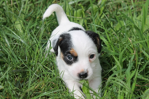 Chiots jack russell LOF _copie14