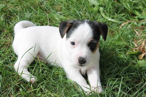 Chiots jack russell LOF _copie16