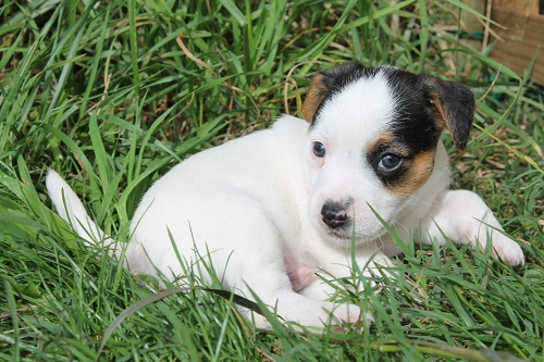 Chiots jack russell LOF _copie17