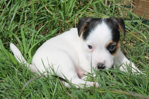 Chiots jack russell LOF _copie18