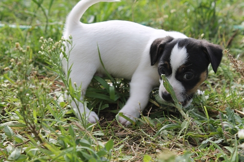Chiots jack russell LOF _copie21