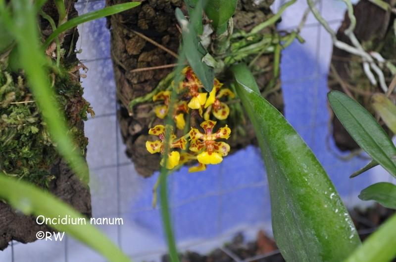 Miniatur-Orchideen 2. Teil - Seite 2 Dsc_0036