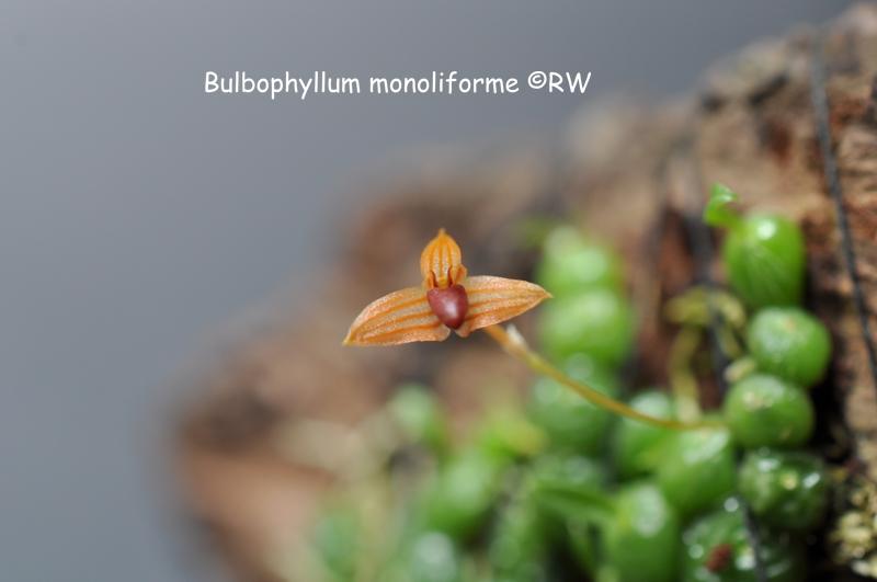 Miniatur-Orchideen 2. Teil - Seite 2 Dsc_0041