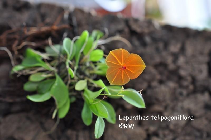 Miniatur-Orchideen 2. Teil - Seite 2 Leph_t10