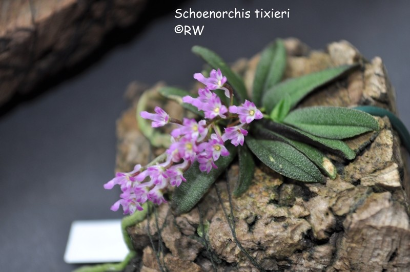 Miniatur-Orchideen 2. Teil - Seite 2 Schoen10