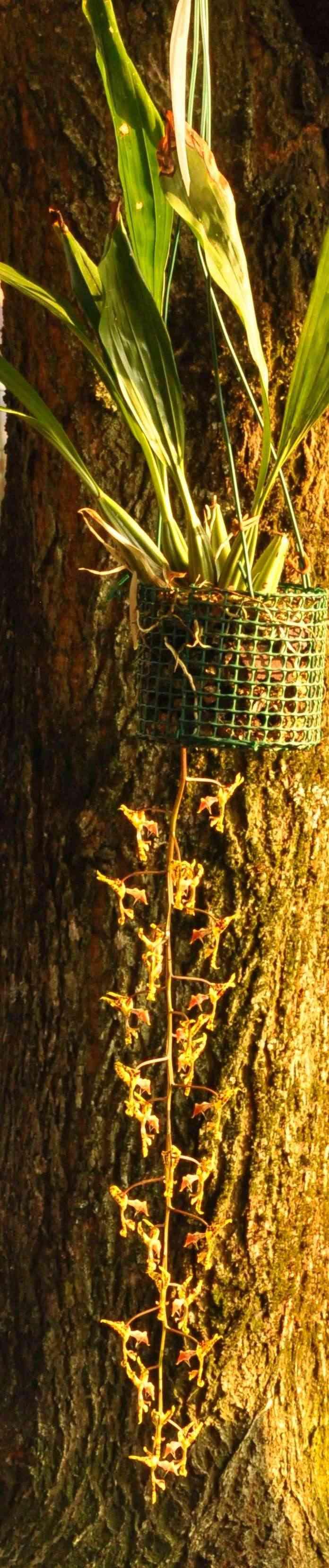 Gongora fulva deuxième floraison de l'année Dsc_2810