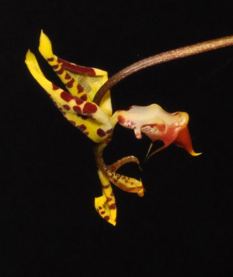 Gongora fulva deuxième floraison de l'année Dsc_2811