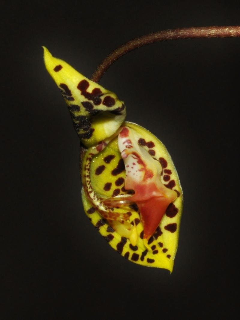 Gongora fulva deuxième floraison Gongor10