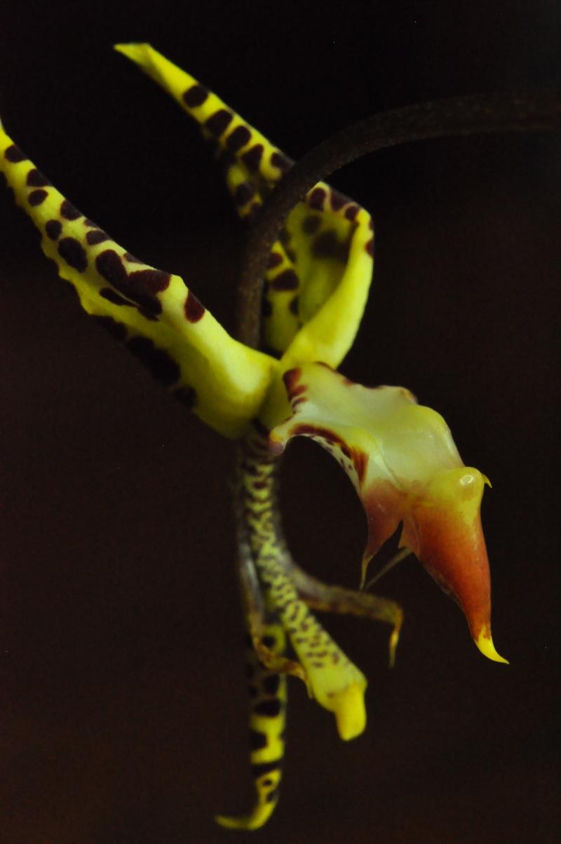 Gongora fulva deuxième floraison Gongor16