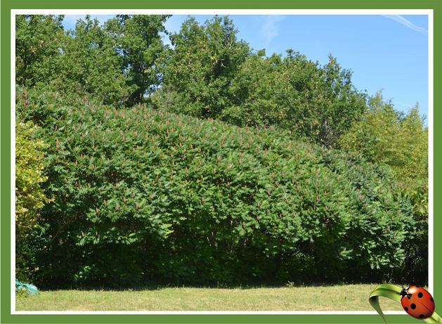 Petit arbre sans nom.........Rhus typhina Haie_c10