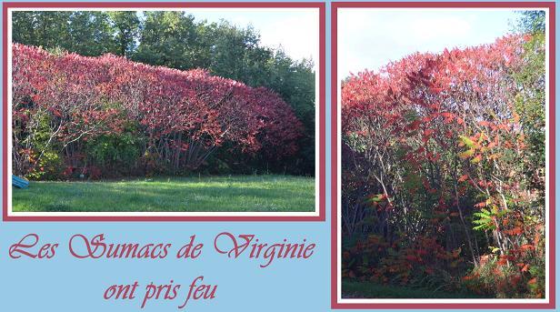 Petit arbre sans nom.........Rhus typhina Sumac_10