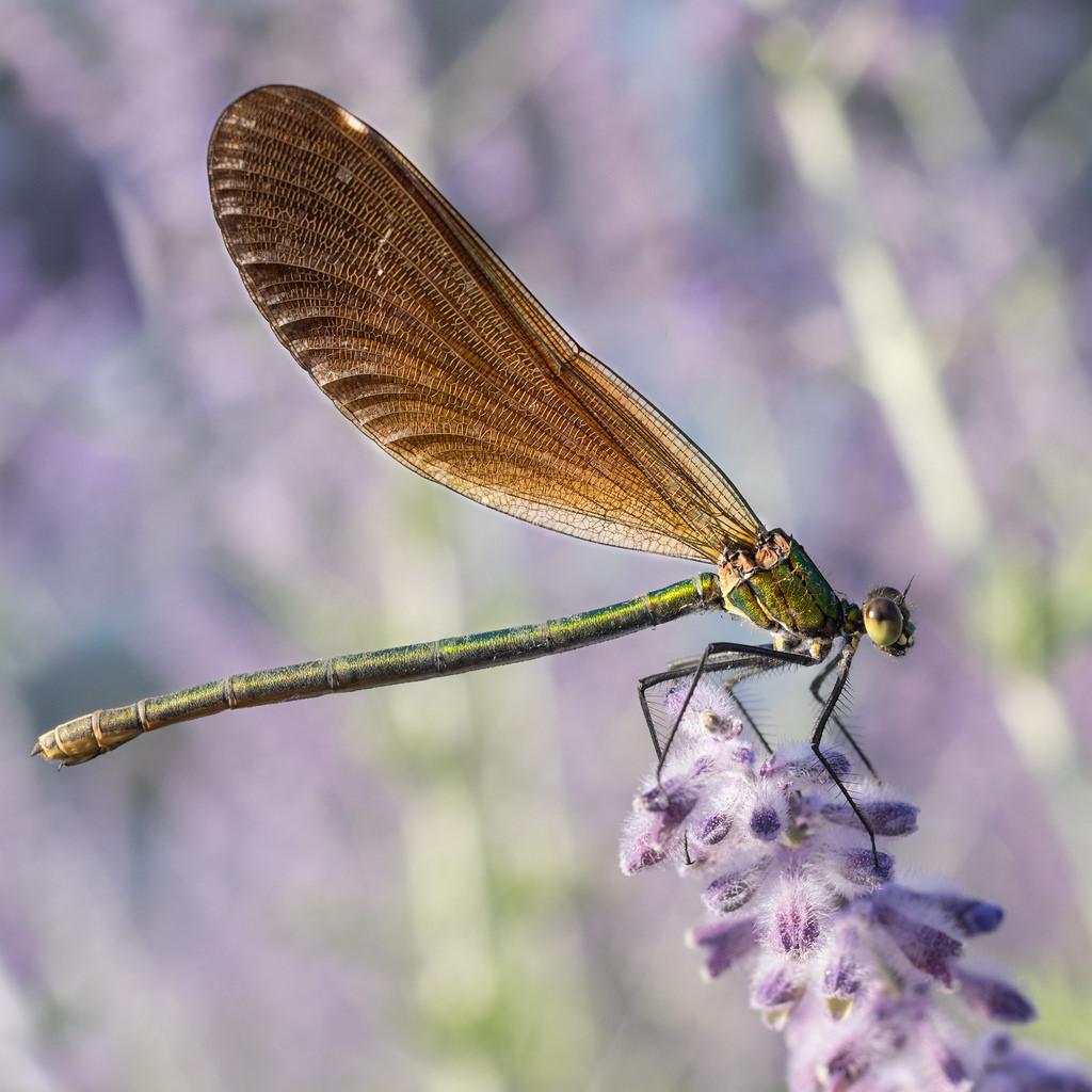 Macros/  proxi/  insectes  - Page 6 43960010