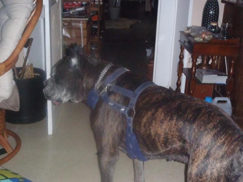 Vos chiens et leurs harnais! Photo  - Page 5 Pc261710