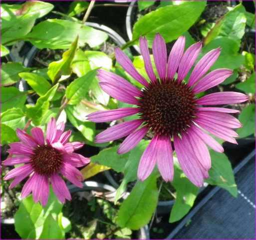 Plantarium de Gaujacq -40- !!! 10082017
