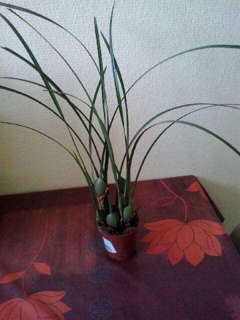 Maxillaria Tenuifolia  - Page 2 Maxill12