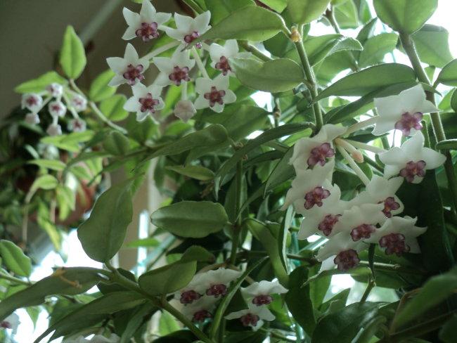 Blüten 2013 - Seite 6 Hoya_b10