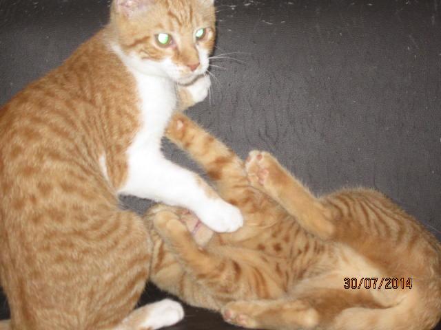 Pim's, petit chaton roux à croquer - réservé Img_9320