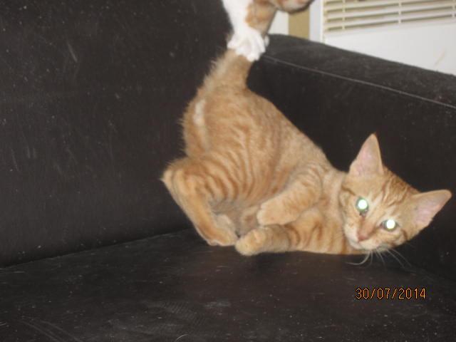 Pim's, petit chaton roux à croquer - réservé Img_9321