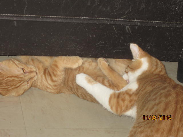Pim's, petit chaton roux à croquer - réservé Img_9424