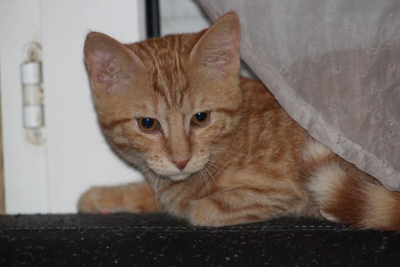 Pim's, petit chaton roux à croquer - réservé Img_9510