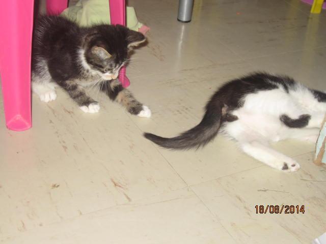 Papillon - Adorable chatonne mimi et coquine tabby et blanche Img_9618