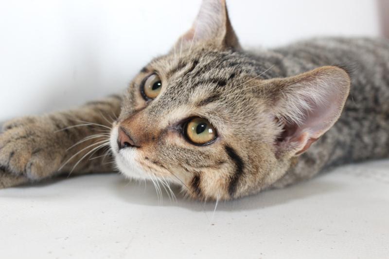 Chamallow, adorable chaton tigré ronronneur - réservé Img_9710