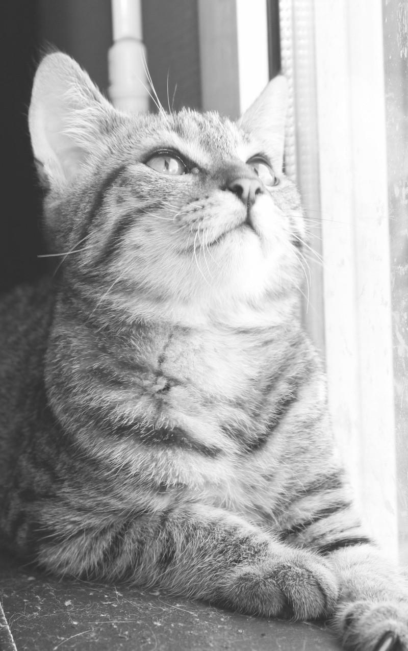 Chamallow, adorable chaton tigré ronronneur - réservé Img_9711