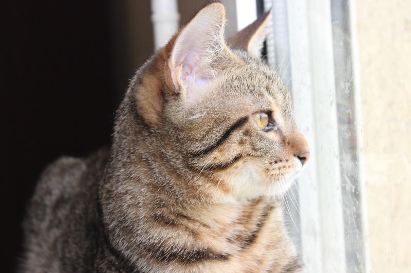 Chamallow, adorable chaton tigré ronronneur - réservé Img_9712