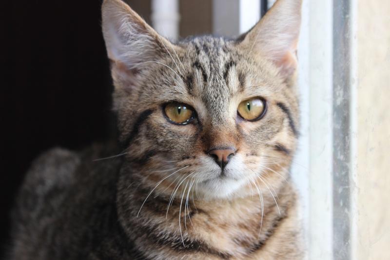 Chamallow, adorable chaton tigré ronronneur - réservé Img_9713