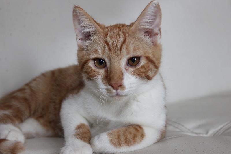 Pitch, le chaton parfait, roux et blanc, né mi-mars 2014 - réservé Img_9714