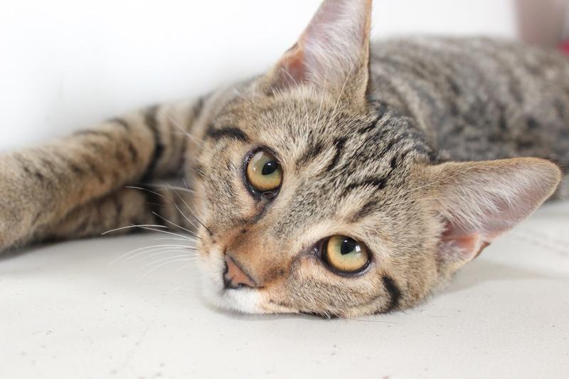 Chamallow, adorable chaton tigré ronronneur - réservé Img_9715