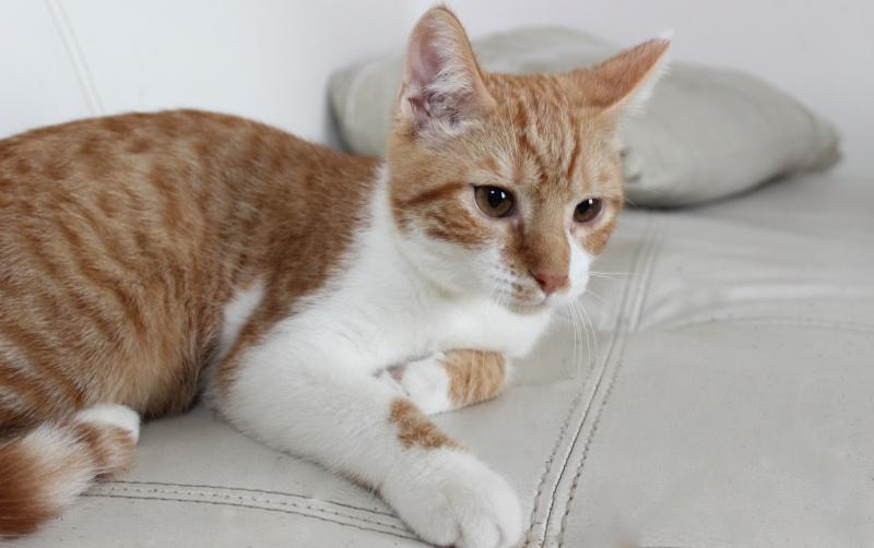 Pitch, le chaton parfait, roux et blanc, né mi-mars 2014 - réservé Img_9716