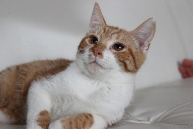 Pitch, le chaton parfait, roux et blanc, né mi-mars 2014 - réservé Img_9719