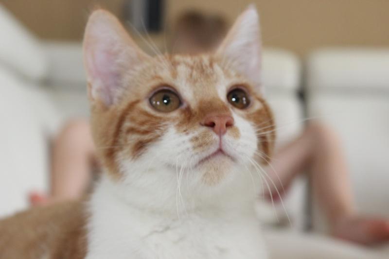 Pitch, le chaton parfait, roux et blanc, né mi-mars 2014 - réservé Img_9721