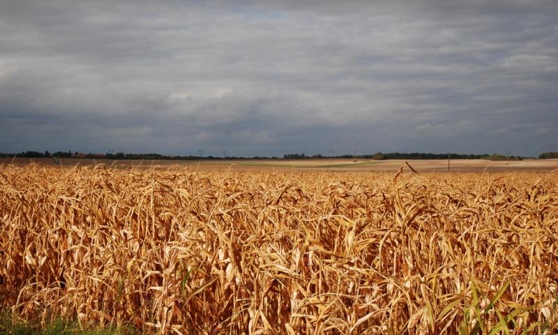 Pour faire pousser du maïs, l'INRA transforme nos poubelles en engrais C_marc10