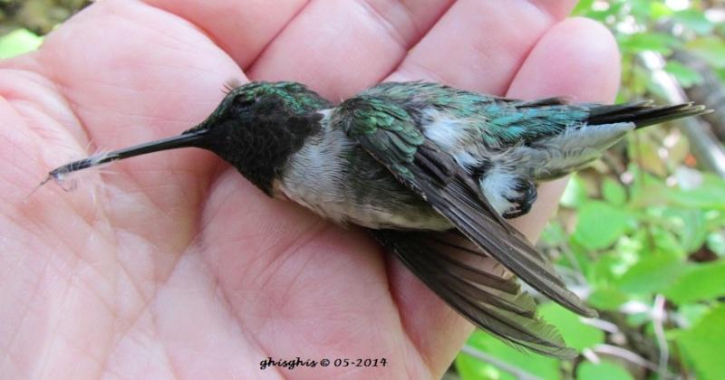 Triste fin pour un colibri... Img_1010
