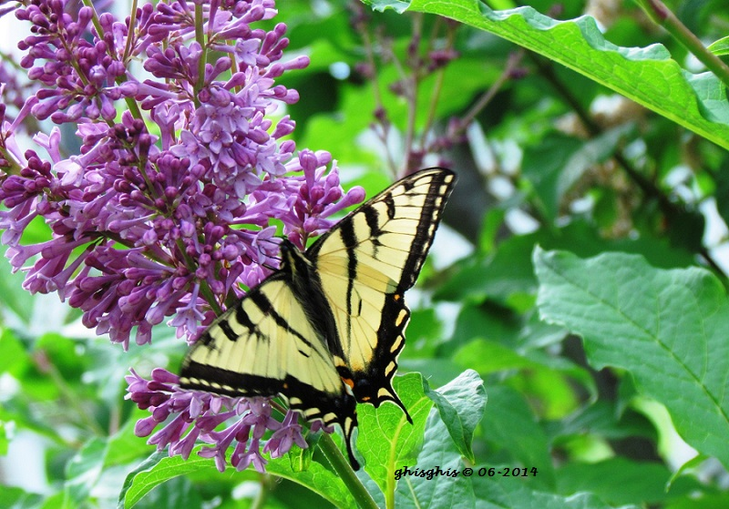 En grand nombre cette année pour le Papillon tigré du Canada Img_1413