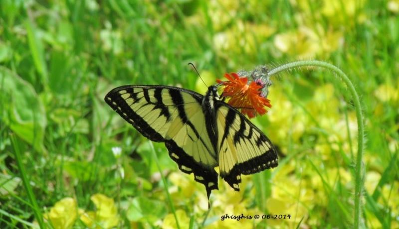 En grand nombre cette année pour le Papillon tigré du Canada Img_1414