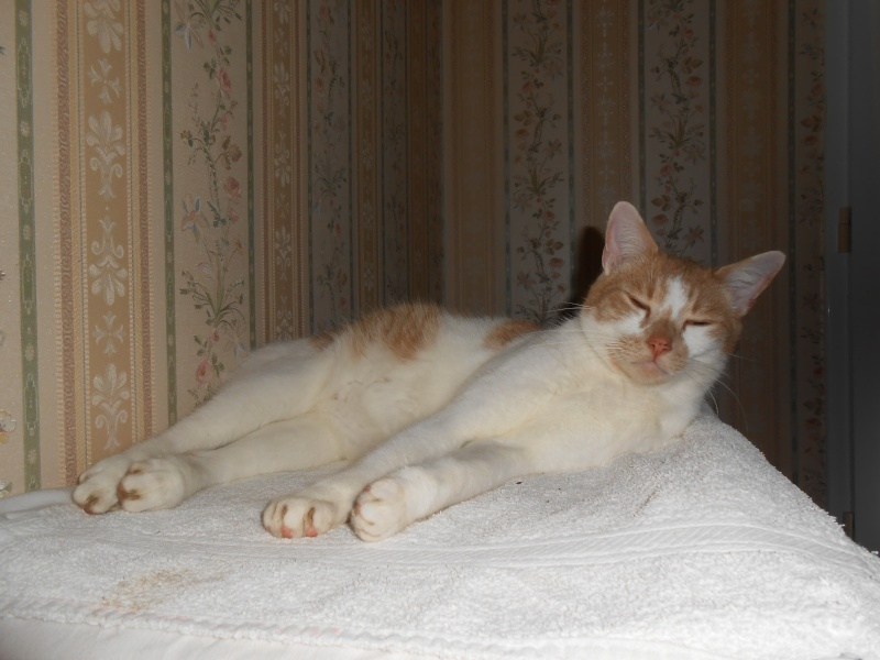 Décibel chaton trigré roux et blanc 5 mois Dscn0410