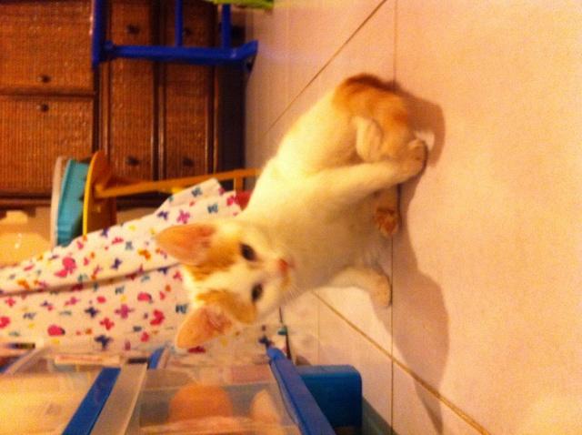 Lyly (ancienne Jakadi), femelle née le 1/09/2014 blanche tachetée de roux Img_0911