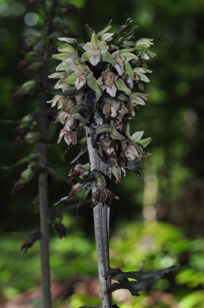 Epipactis purpurata 04910