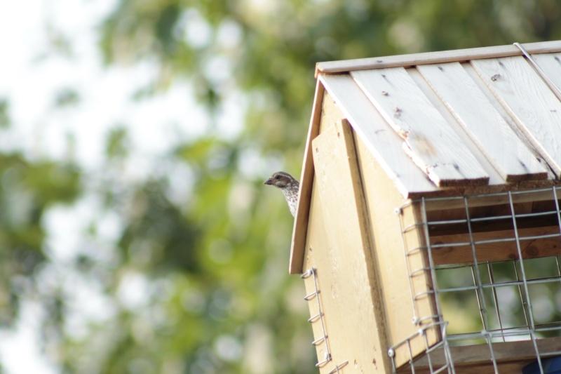 oiseau dans ma cour.. _mg_7810