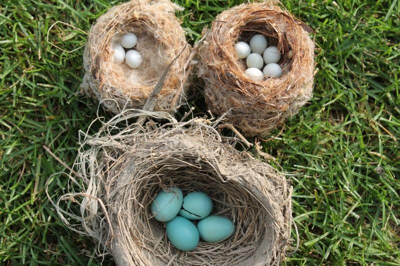 oeufs et nids à identifier. Img_6910