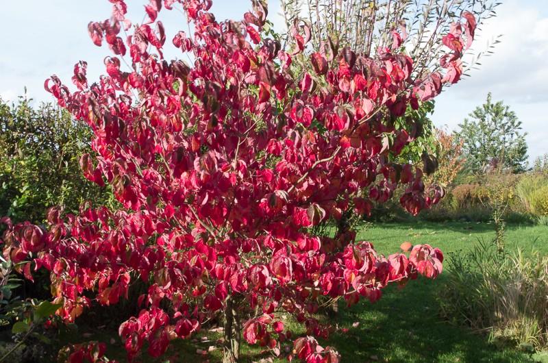 Cornus florida Saxi_e10