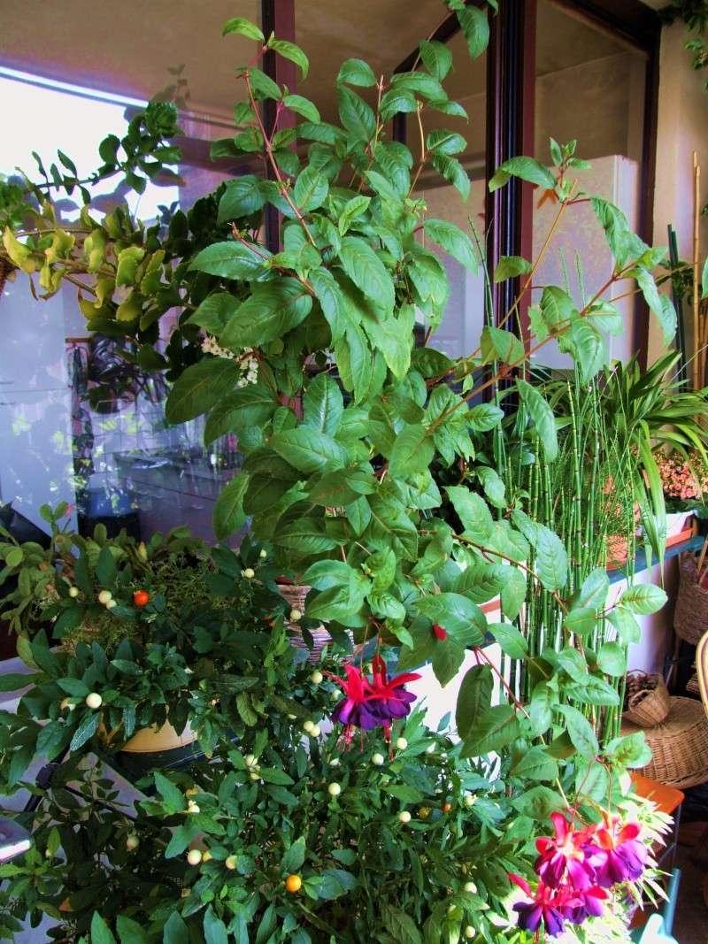Fuchsia - espèces et variétés frileuses Dscf3710
